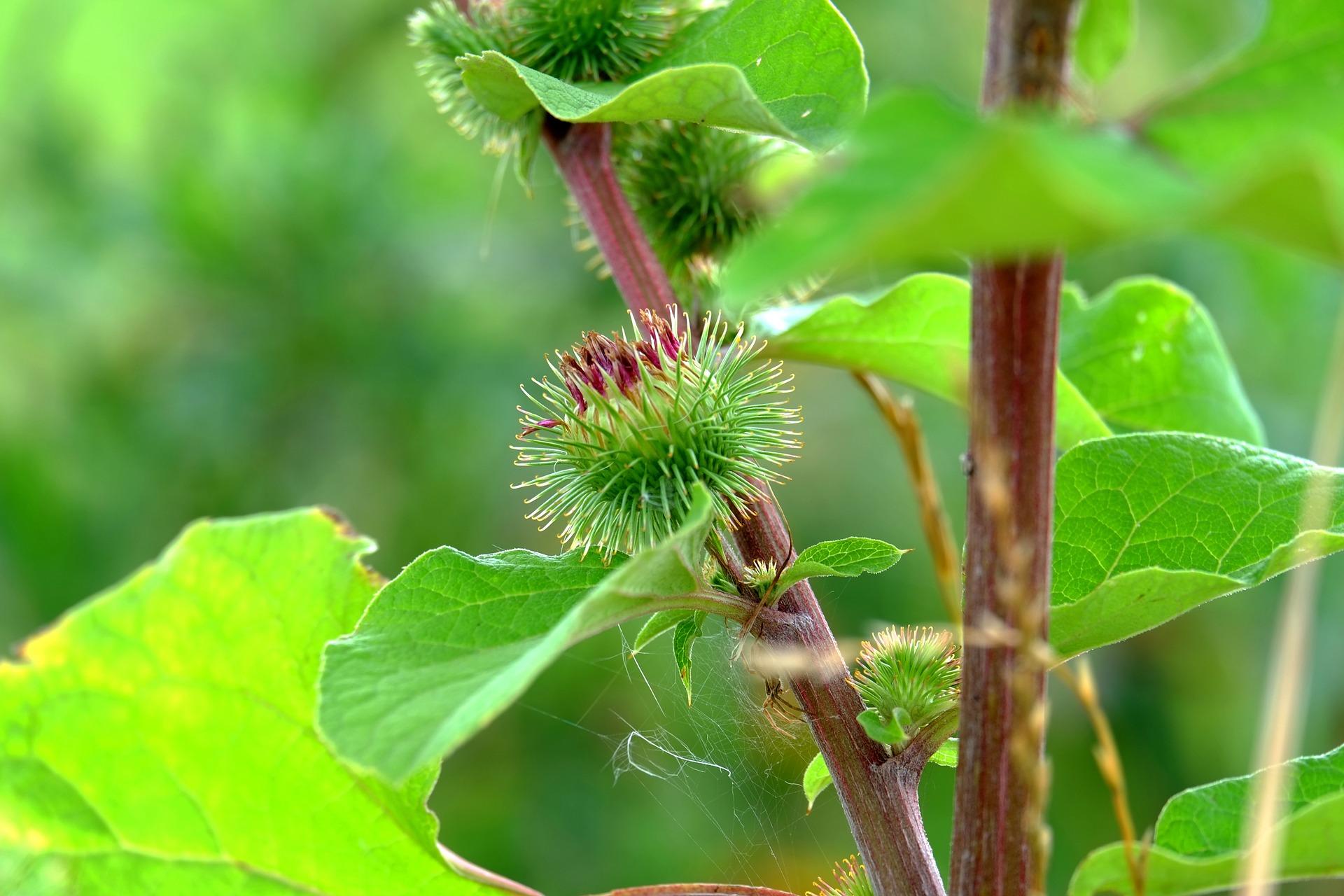 Repinec je odlična kulinarična rastlina