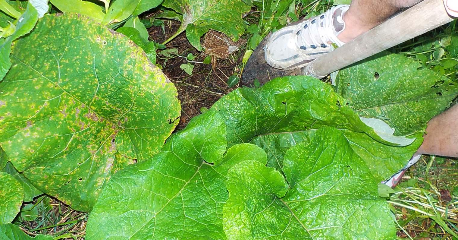 Zdravilna rastlina repinec