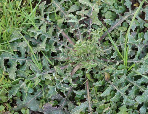 Škrbinka in druge divje rastline pozimi