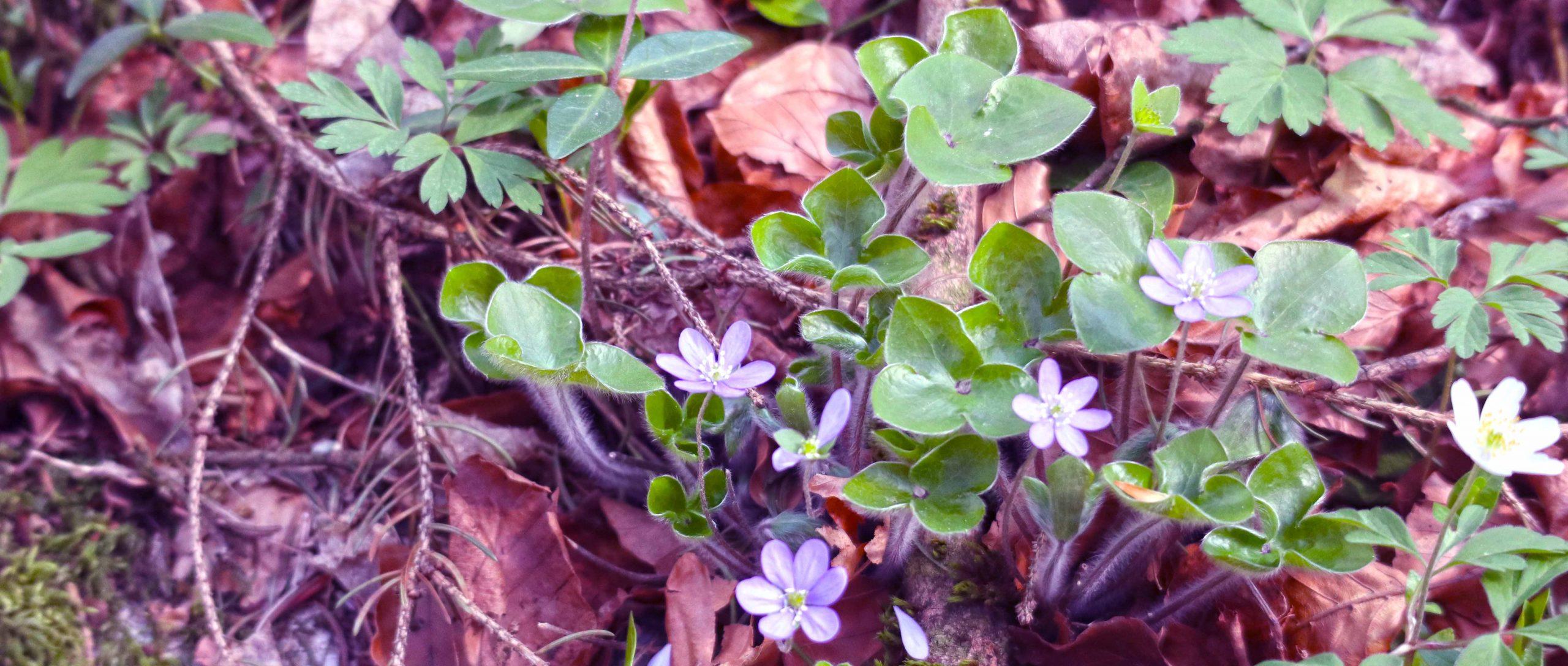 Navadi jetrnik, Hepatica nobilis