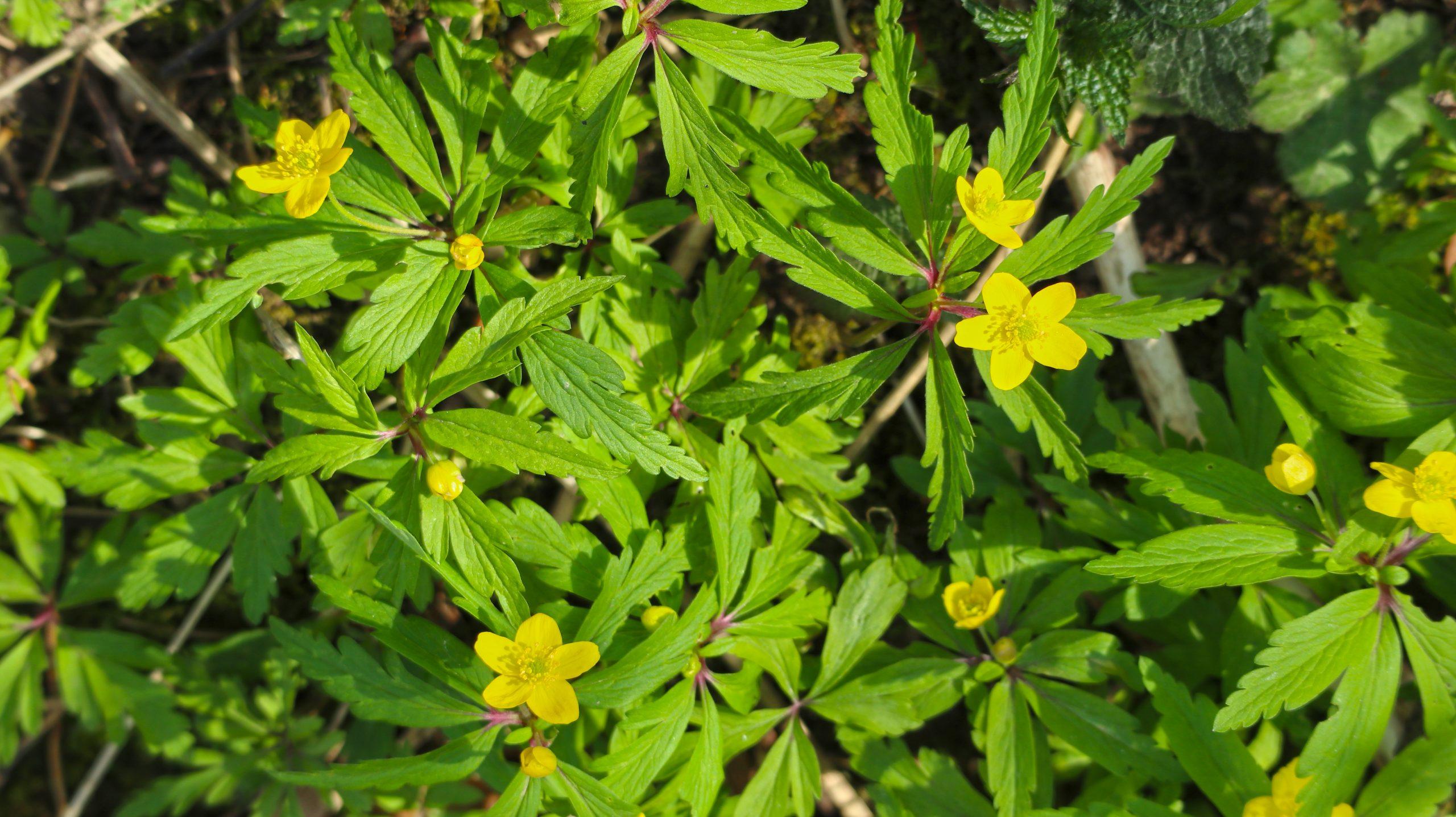 Zlatičnata vetrnica, Anemone ranunculoides