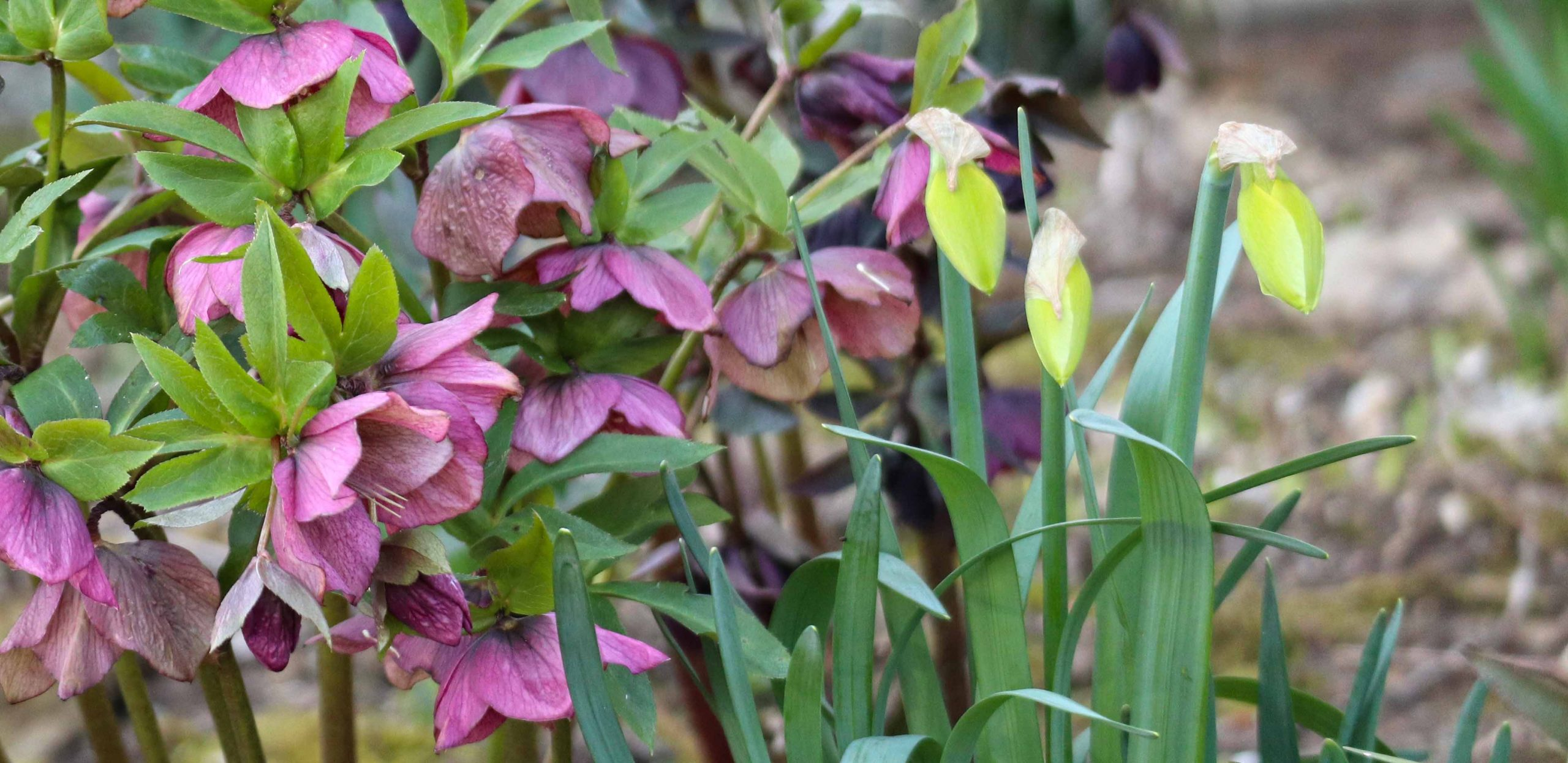Strupene okrasne rastline - telohi in narcise