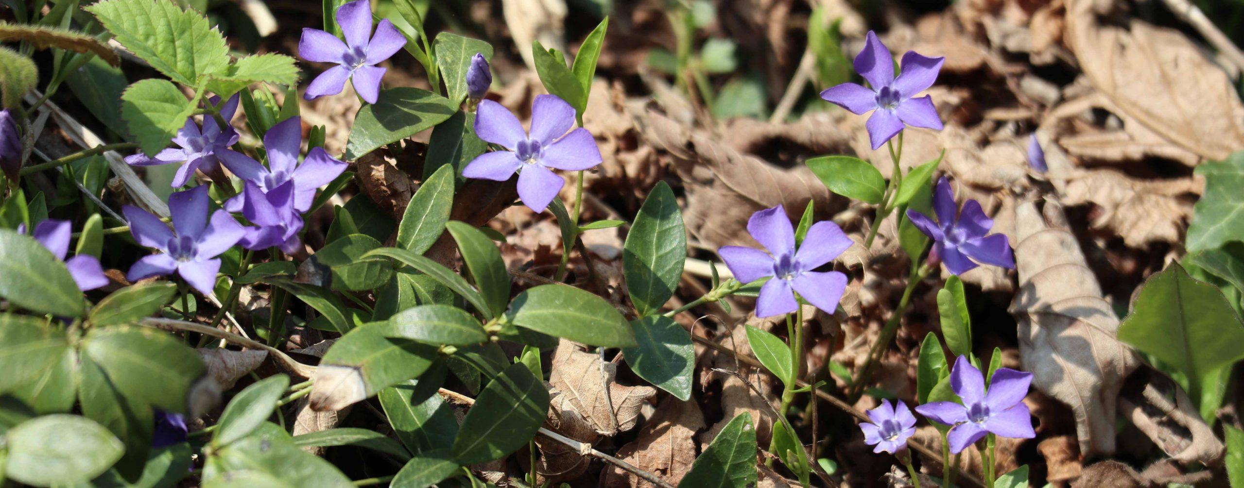 Strupene rastline - zimzelen, Vinca minor, tudi cvetovi so strupeni